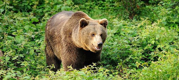 Nationalpark Bayerischer Wald Braunbär